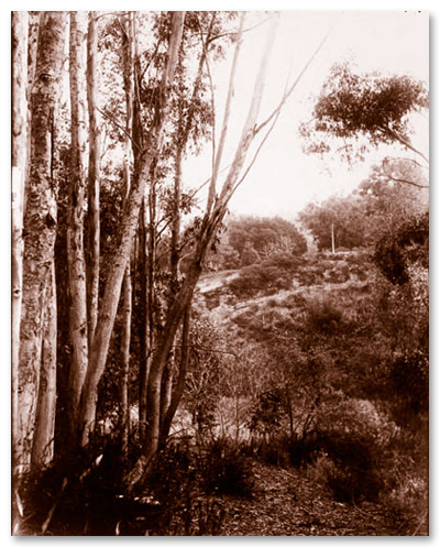 1910s Eucalyptus Planted in Grove
