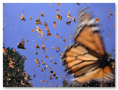 Monarchs in Flight in Mexico