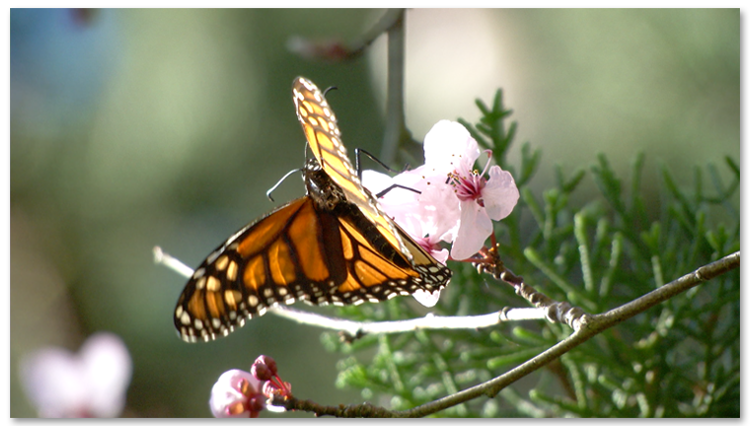 Monarch on Cherry Blossom